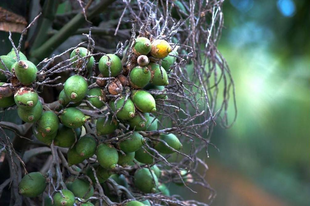 A taste of betel-nut culture in Hainan