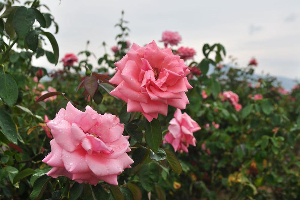 yalong bay rose park sanya hainan island